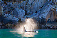 killer whale or orca, Orcinus orca, surfacing, spouting, blowing, Kenai Fjords National Park, Alaska, USA, Resurrection Bay, aka Blying Sound and Harding Gateway, Pacific Ocean