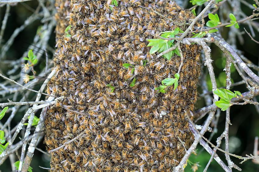 A swarm sitting on a branch.///Un essaim posé sur une branche.