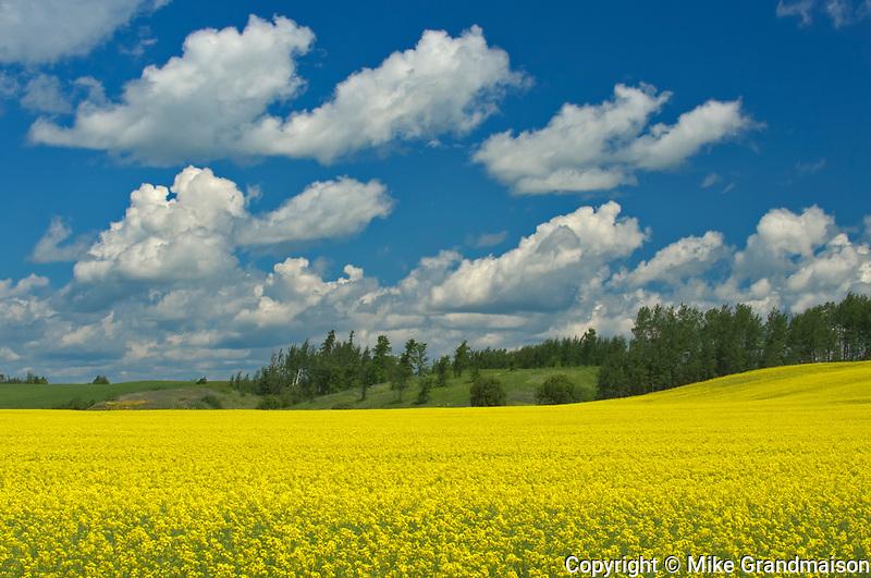 Canola crop in bloom<br />New Liskeard<br />Ontario<br />Canada