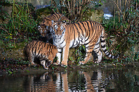 BNPS.co.uk (01202 558833)<br /> Pic: IanTurner/BNPS<br /> <br /> The wonderful thing about tiggers...cubs Rusty and Yuki with mother Yana.<br /> <br /> The endangered Amur tiger cubs - the world's largest big cats – have been seen by visitors for the first time at the Longleat Safari Park.<br /><br />And the precocious pair were soon frollicking in the autumn sunshine whilst playing in the fallen leaves, and pouncing on their long suffering mother Yana.<br /> <br /> The male called Rusty and a female called Yuki, are part of a European wide breeding programme for the endangered sub-species.<br /><br />Native to the far east of Russia, the Amur tiger is the largest of the big cats and can weigh up to 300 kg and measure more than three metres in length. <br /><br />In the 1930s the tigers had nearly died out due to hunting and logging. At one stage it is thought the population fell as low as just 20–30 animals. <br /> <br /> Although they are still under severe threat their status was officially changed from Critically Endangered to Endangered in 2007.
