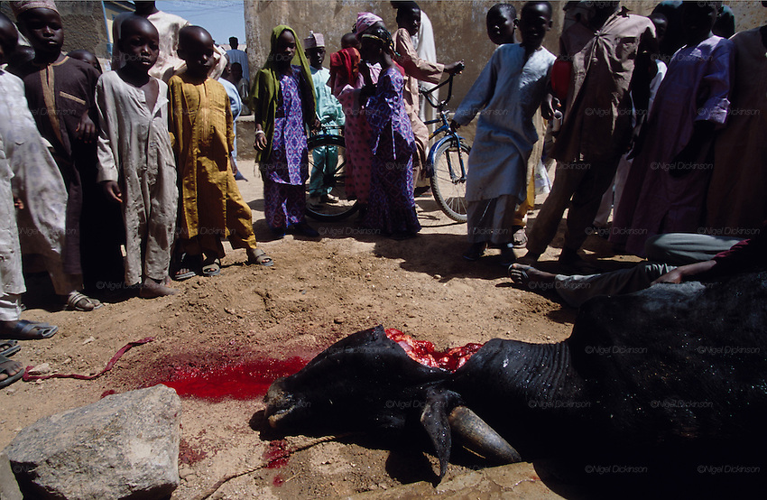 Africa, Nigeria, Kano State, Kano. Muslim Halal kill of cow in the street is witnessed by local Hausa children. 2003.'MEAT' across the World..foto © Nigel Dickinson