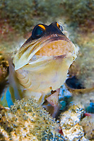 jawfish with eggs, Opistognathus sp., Ambon Bay Pohon Baru New Tree)