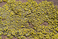 A crustose yellow ascomycete lichen growing on a rock.  Multiple apothecia are visible.   I believe this may be _Acarospora_ (_Acarospora socialis_?) or _Pleopsidium_, but I'm not sure.   This lichen was found in Vasquez Rocks County Park in Los Angeles County. The scale bar is 5mm (contact me if you want a version of the image without the scale bar).