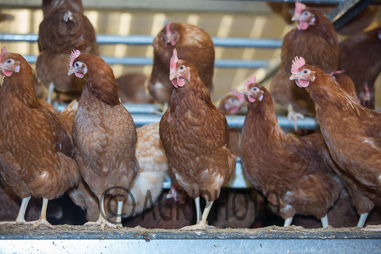 Barn hens <br /> Picture Tim Scrivener 07850 303986 tim@agriphoto.com<br /> ….covering agriculture in the UK….