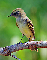 Adult yellow-bellied flycatcher