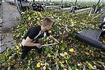 Foto: VidiPhoto<br /> <br /> BEMMEL &ndash; Herfstgevoel in de lente, woensdag, althans in de aardbeienkassen van teler Royal Berry in het kassengebied Next Garden (Bergerden) in Bemmel. Met 30 man en vrouw Pools personeel wordt vanaf woensdag tot en met eind volgende week het oude blad aan de planten afgeknipt, verwijderd en gecomposteerd. Op twee locaties van achtereenvolgens 6,6 en 11 ha. worden 1,7 miljoen aardbeienplantjes met een handschaartje ontdaan van het herfstblad. De planten hebben tot 1 januari nog vrucht gedragen en daarna in een koude kas winterrust gehad. Nu de boel flink wordt opgestookt, krijgen ze over twee weken de eerste bloesem en kunnen begin april de eerste aardbeien geoogst worden. Het oude blad wordt verwijderd zodat de plant alle energie gebruikt voor de vrucht en het jonge blad. In totaal wordt 200 ton blad verwerkt tot compost.