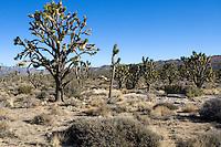 Joshua tree (Yucca brevifolia) forest in the Mojave Desert, California.