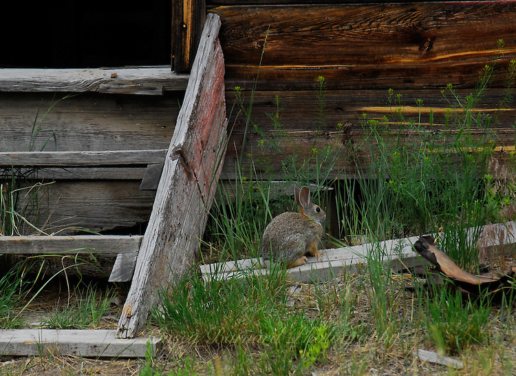 Cottontail rabbit, one of the last residents of the ghost town at Bannack State Park in Montana