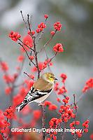 01640-155.11 American Goldfinch (Carduelis tristis) in Common Winterberry (Ilex verticillata) in winter, Marion Co.  IL