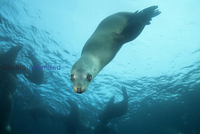 California sea lion ,Zalophus californianus,