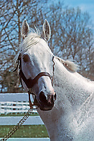 Horse racing; racehorse; Thoroughbred; racetrack, Grey Dawn II, The Axe II, Domino Stud, sire, stallion, champion