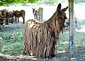 "Rare Le Baudet ""rasta"" dreadlocked donkeys. .(pic shows: Lambada - older donkey.)...Three day old donkey ""Belle"" daughter of  Lorelei is learning to walk. She struggles to her feet encouraged by her mother and two handlers and this donkey sanctuary..One up she manages to prance around but almost immediately is tired out and has to be taken off for a sleep in her stable..Unfortunately the steps is too much for her and handler 20 year old Melanie has to carry the 88 pound baby - (five and a half stones.).Belle and her mother live at a donkey sanctuary in Charente, France...When she is fully grown she will eventually have much more hair like Lambada.....Picture by Gavin Rodgers/ Pixel8000. 07917221968"