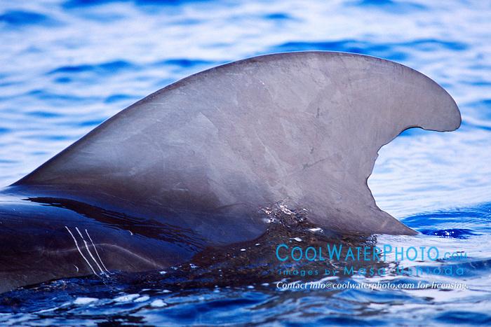 dorsal fin of short-finned pilot whale bull, .Globicephala macrorhynchus, .Big Island, Hawaii (Pacific).