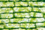 Elodea epidermal cells showing chloroplasts. LM X400