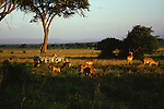 A herd of impalas and Burchell's zebra graze on the African savannah.