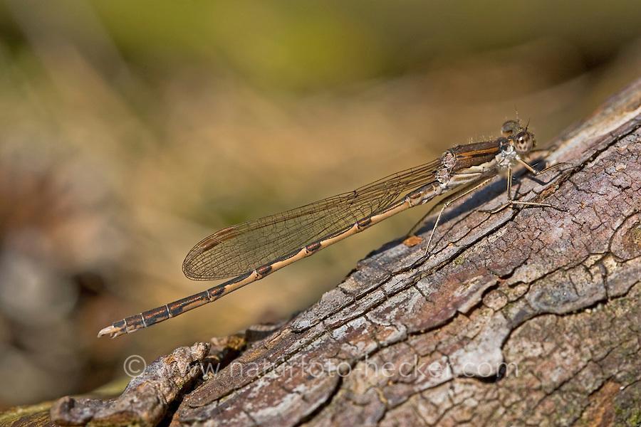 Gemeine Winterlibelle, Weibchen, Winter-Libelle, Sympecma fusca, Common Winter Damselfly, Common Winter Damsel, female, Le leste brun, brunette hivernale