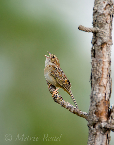 Bachman's Sparrow (Aimophila aestivalis), male singing, Three Lakes Wildlife Management Area, Florida, USA
