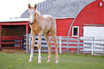 Palomino by a red barn