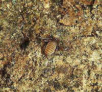 False Scorpion - order Pseudoscorpionida