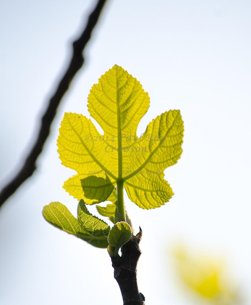 Fig Leaf - Spring