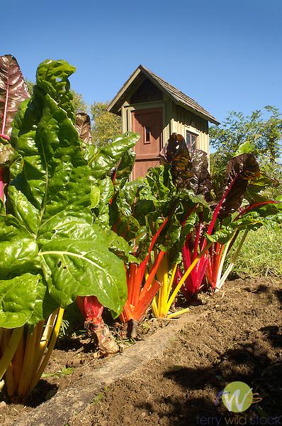 Rainbow Swisschard.Ann Meyer Garden