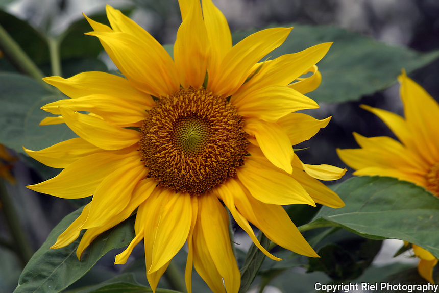 A sunflower in a private garden, Portugal