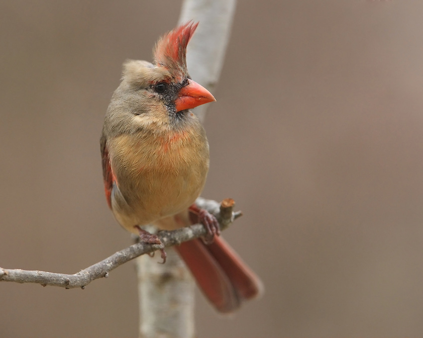Female cardinal leaning into a gusty wind.
