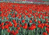 Marek, FLOWERS, BLUMEN, FLORES, photos+++++,PLMPPP188,#f#