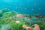 Sea of Cortez, Baja California, Mexico; Scissortail Chromis (Chromi atrilobata) fish swimming overhead, amongst pink barrel sponges on a rocky reef