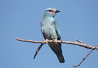 The Roller Coracias garrulus is a colourful bird that is widespread in summer in southern and eastern Europe. A few turn up in Britain in late spring during south-easterly winds.