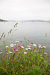 Oxeye Daisies-looking towards Otago Peninsula from Port Chalmers, New Zealand