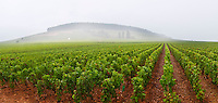 pinot noir vineyard corton and c-charlemagne vyd aloxe-corton cote de beaune burgundy france