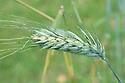 Triticum polonicum var. chrysospermum 'Mansholts White', early July. A Polish wheat.