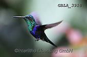 Bob, ANIMALS, REALISTISCHE TIERE, ANIMALES REALISTICOS, wildlife, photos+++++,GBLA3918,#a#, EVERYDAY ,hummingbaird,hummingbirds