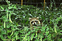 MA25-163z  Raccoon - young raccoon exploring in garden near pea plants - Procyon lotor