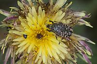 Trauer-Rosenkäfer, Trauerrosenkäfer, Rosenkäfer, Oxythyrea funesta, Blütenbesuch, auf Blüte von Wucherblume, Blatthornkäfer, Scarabaeidae, rose chafer