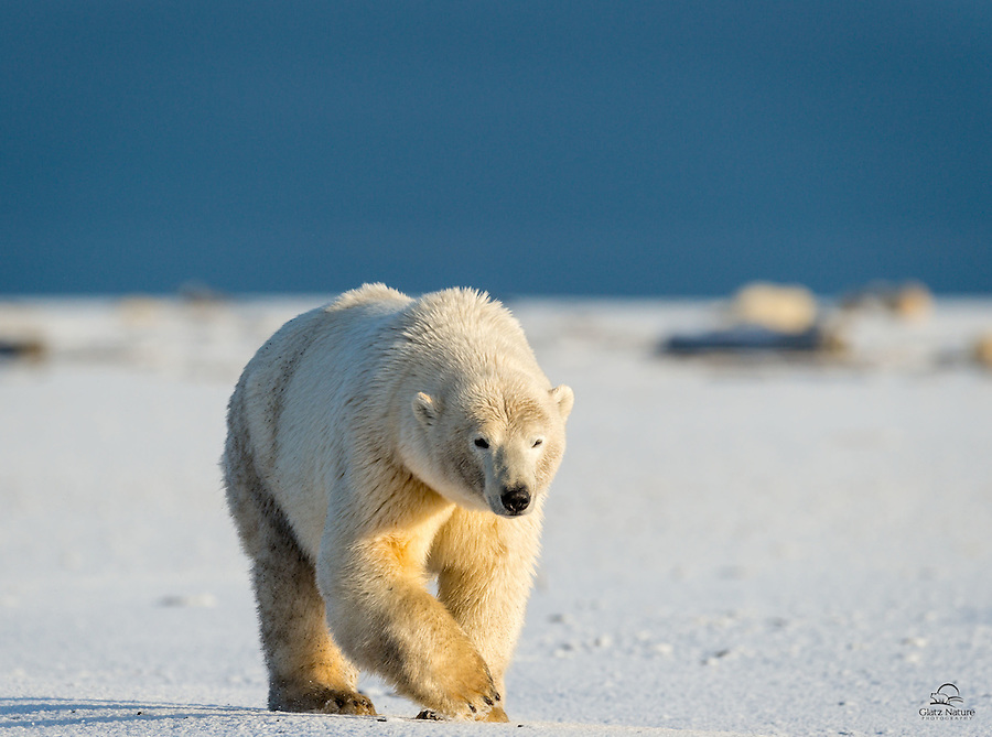 Huge male Polar Bear makes its way along a spit of land off the coast of Barter Island, Alaska.  The big guy approached every single bear in the area, checking them out, intimidating them into running away or forcing mother bears to confront him.  Seemed amazing there were no fights that day.  Kaktovik, Alaska.