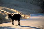 Cow crossing rural country road, Mendocino County, California