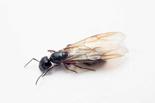 Reproductive winged Carpenter Ant, Camponotus noveboracensis