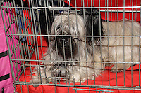 Black and white Skye Terrier lying in it's crate during the international dog show in prague in may 2014.<br /> <br /> The Skye Terrier is a breed of dog that is a long, low, hardy terrier and &quot;one of the most endangered native dog breeds in the United Kingdom&quot; according to the The Kennel Club