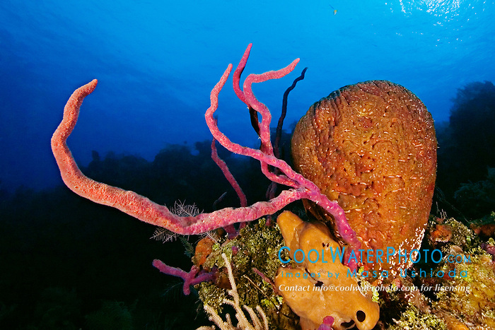 Row Pore Rope Sponge, Aplysina cauliformis, Leathery Barrel Sponge, Geodia neptuni, and Brown Tube Sponge, Agelas conifera, Family: Demospongiae, West End, Grand Bahamas, Atlantic Ocean