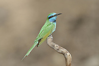 Little Green Bee-eater - Merops orientalis