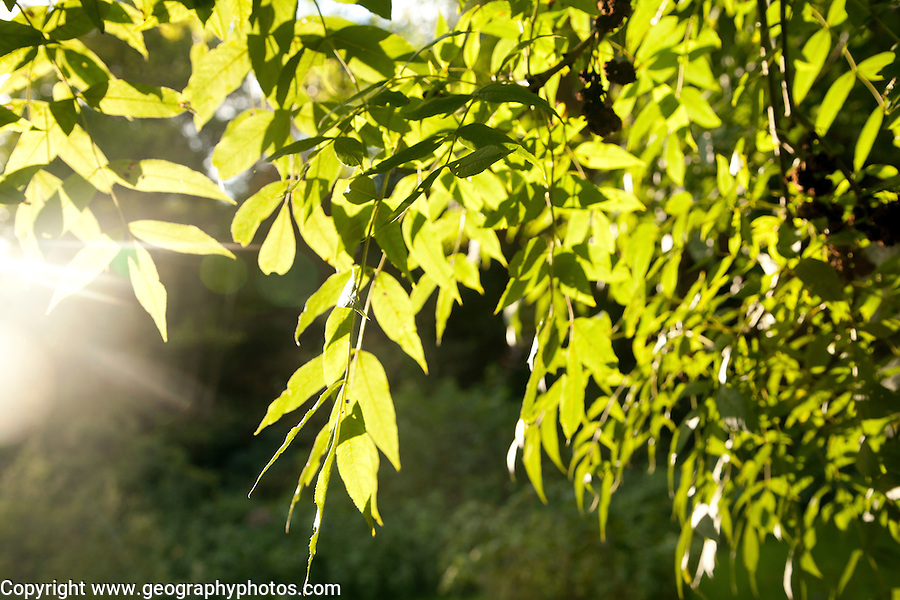 Sunshine shining through green leaves on a ash tree illustrating photosynthesis, UK