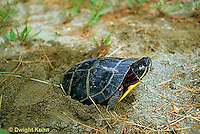 1R13-087z  Painted Turtle - female adult laying egg in sand  - Chrysemys picta