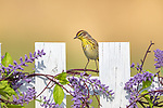 Palm warbler perched on a decorative fence in northern Wisconsin.