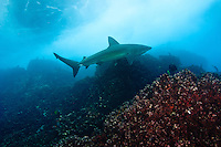 Galapagos Shark (Carcharhinus galapagensis) swims underwater off the Galapagos Islands of Ecuador.