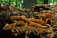 Honey Mushroom (Armillaria mellea) cluster on a rotten hardwood log. Though a saprophyte, the Honey Mushroom can spread via mycelial strands, or rhizomorphs, and become a parasite on healthy trees.