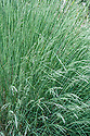 Poa labillardieri, late May. Commonly known as Common or Blue tussock grass. Native to Australia.