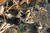 Family of Ducklings photographed at Wakodahatchee Wetlands,Delray Beach, Florida. Hopefully, they were not lunch or dinner for an alligator.