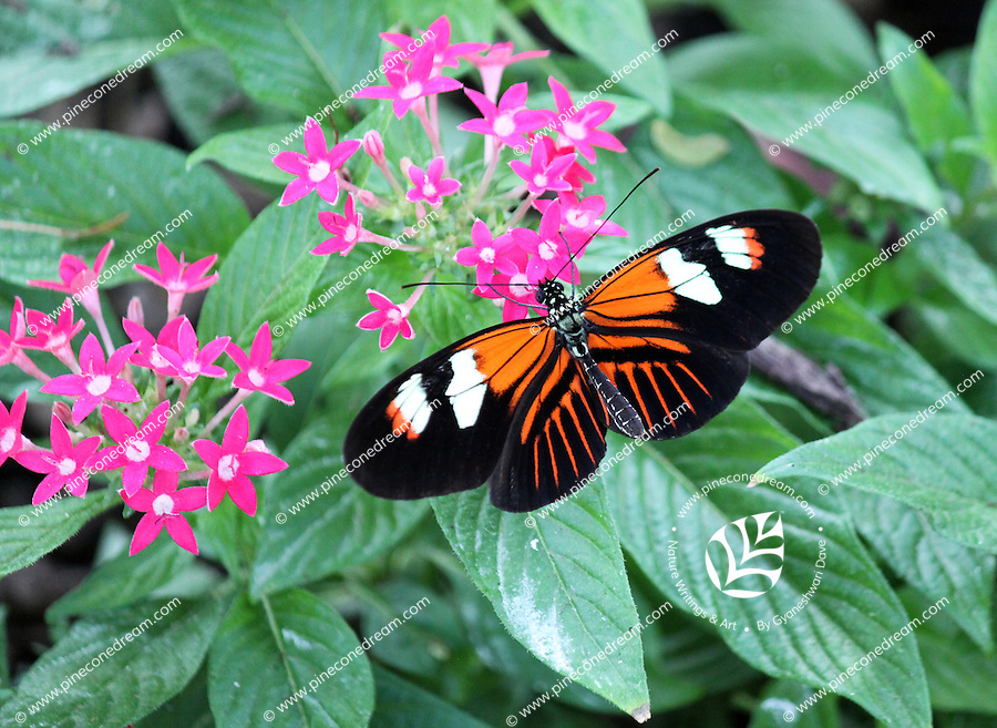 Stock photo: Gorgeous postman butterfly spreading wings on cute pink flowers in the callaway gardens in Georgia, USA.